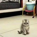 回るコマを触りたいと直立する二匹の子猫が天使過ぎる