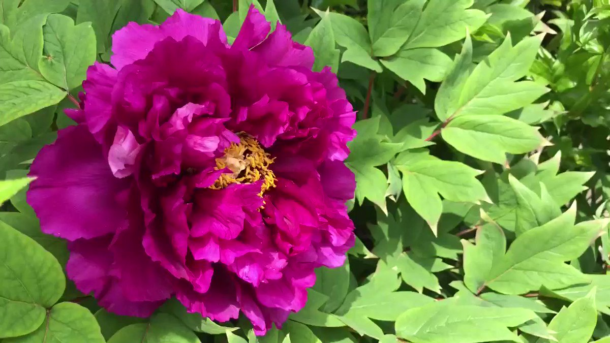 'Black Dragon' Tree Peony is the most exotic highly anticipated #peony to bloom  @TexanInOz @landscaping @PicPoet @Hpeonies   #peonies #video #springpic.twitter.com/B34LzpBZF7