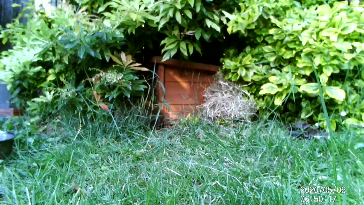 A #hedgehog out in the day is normally a sign of sickness or injury, but at this time of year may be a nesting mother. Heres the one from our garden gathering nesting materials this morning #hedgehogs #hedgehogawarenessweek #wildlife