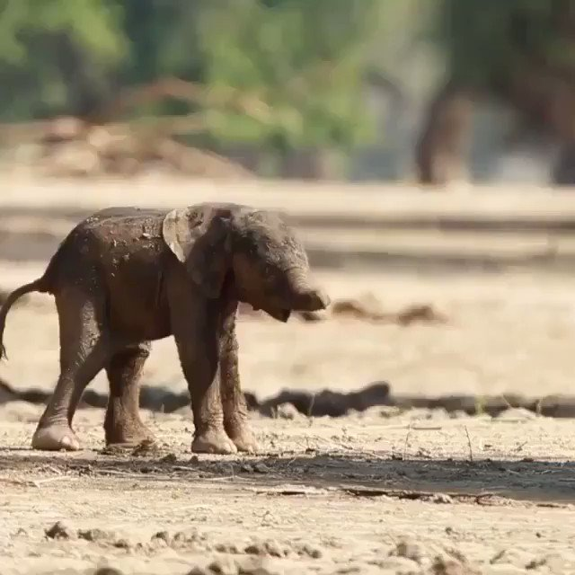 First  Steps    #TuesdayThoughts #Elephants  via @buitengebieden_  pls follow - great accountpic.twitter.com/3MQuhIqObr