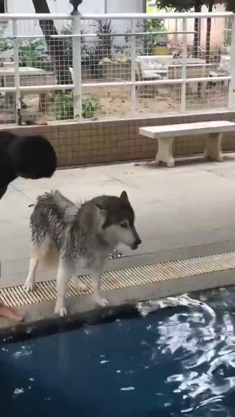 ハスキー犬、初めての水泳訓練