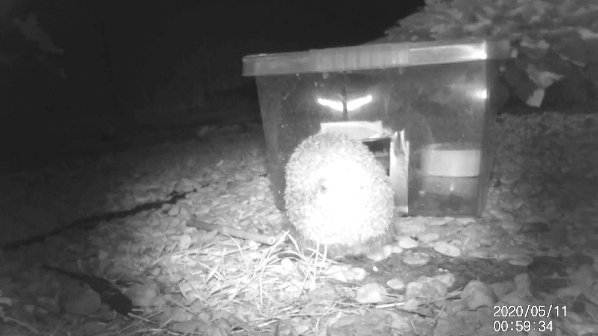 So apparently this #hedgehog did not care for the biscuits in the hog feeder #wildlife #hedgehogs #hogcam