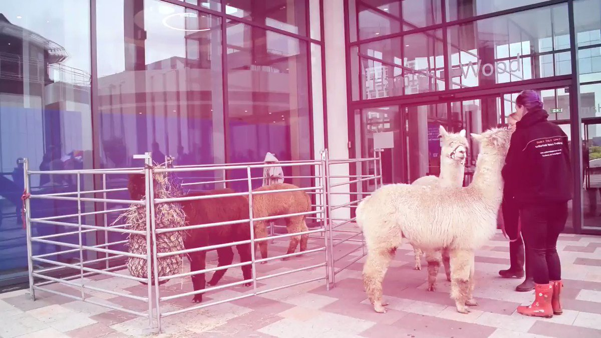 Last year we treated our students to a special study break and welcomes the alpacas to campus ❤️️🐾 Since we wont be able to do the same this year we thought wed share a #ThrowbackThursday of when our students seen them for the first time 😊🦙️