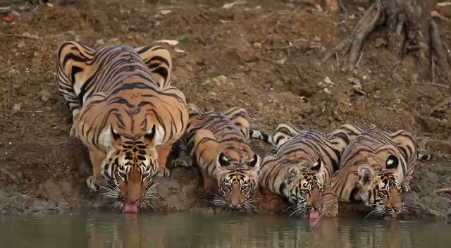 Every time I watch this amazing clip, shot by Ajit Kulkarni in the buffer area of Tadoba, it fills my heart with lot of #Happiness, #Hope and #Positivity. A must watch during these #COVID gloomy times.