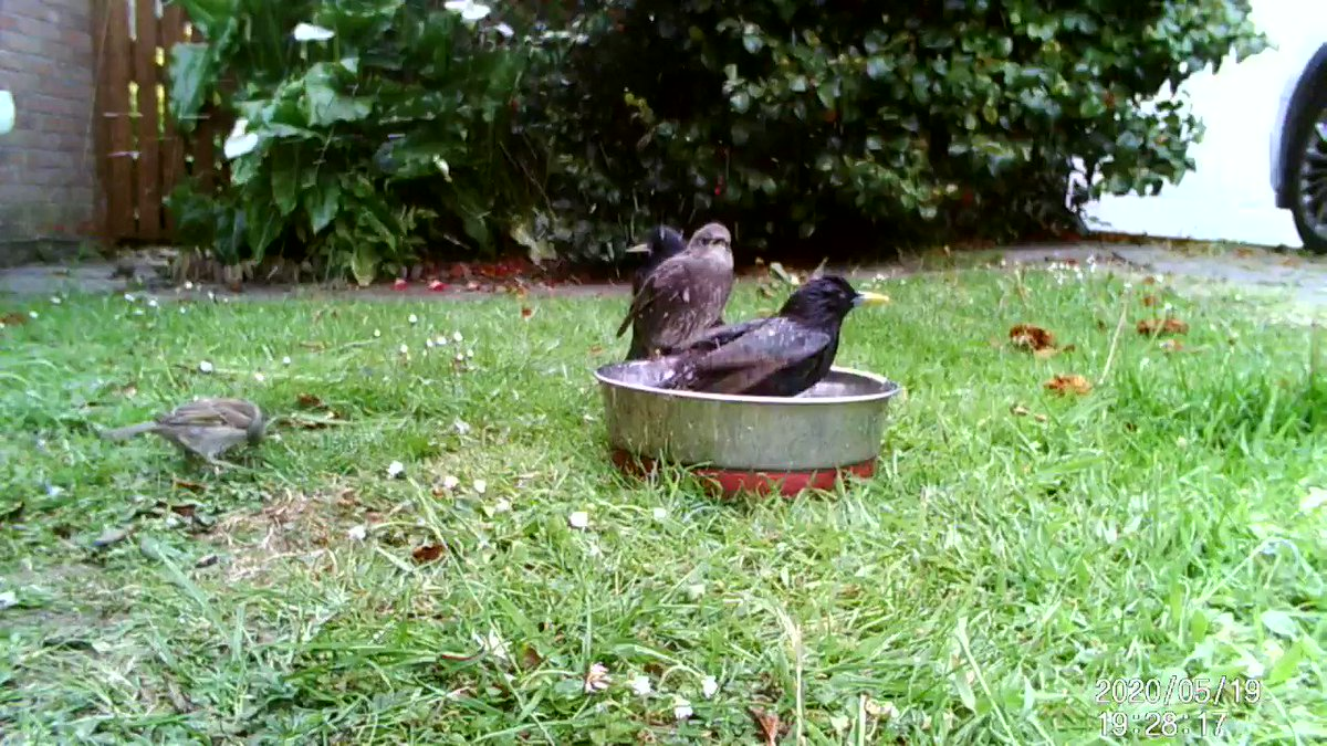 Q: Why are the bowls of water in the garden for #hedgehogs going down so quickly? A: Because they are apparently also baths for starlings #hedgehog #wildlife #birds #WildlifeWednesday