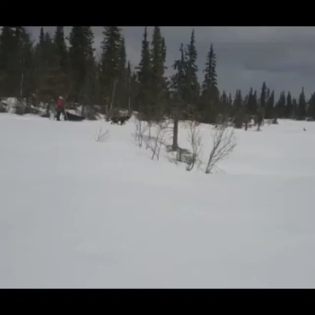 This video from just last week shows the last training run of the winter with the dogs from Dog Sledding and Northern Lights in Vindelfjällen – bookings are now open for winter 2020/21 and we can't wait for tours to start again in November! naturetravels.co.uk/dog-sledding-s… #dogsledding