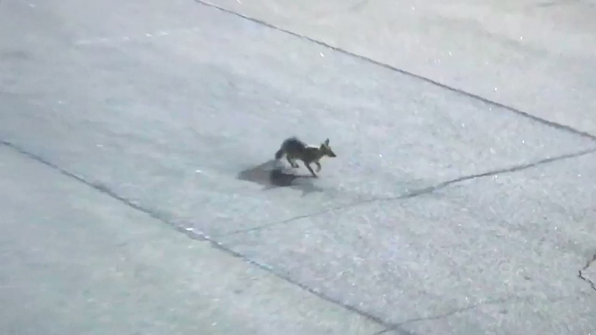 THERE'S A FOX ON THE RACE TRACK IN DARLINGTON . #NASCARIsBack #NASCAR