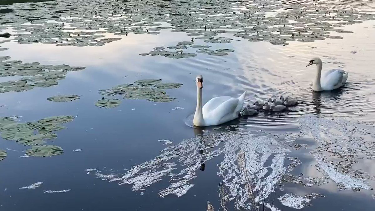 Morning!  This has totally made my week!  After a couple of weeks of staying in the safety of the middle of the lake, last night the swans finally introduced me to their cygnets !  And boy was it worth the wait!  Happy Friday! #FridayMotivation #FridayFeelingpic.twitter.com/qR1QX4lFis