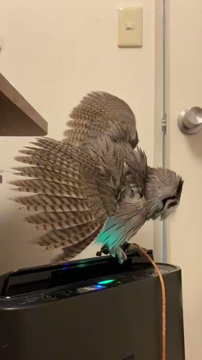 楽しそう🦉「かれこれ10分近く遊んでます」 空気清浄機で風を感じるコノハズクのドヤ顔がかわいい -  @itm_nlabzoo