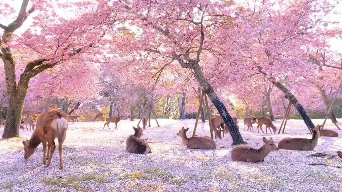 Deer and cherry blossoms in #NaraPark #Japan pic.twitter.com/GpXme1clvN