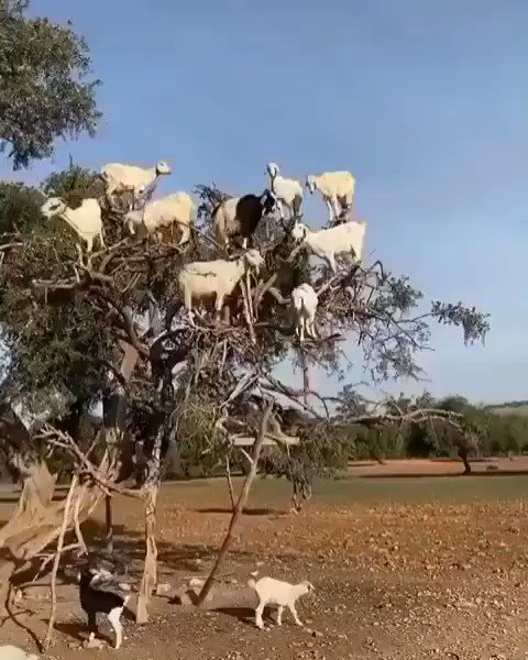 Have you ever seen a goat trees?  #animallovers #goats #explore  earthvacations pic.twitter.com/IDe25dr1oG