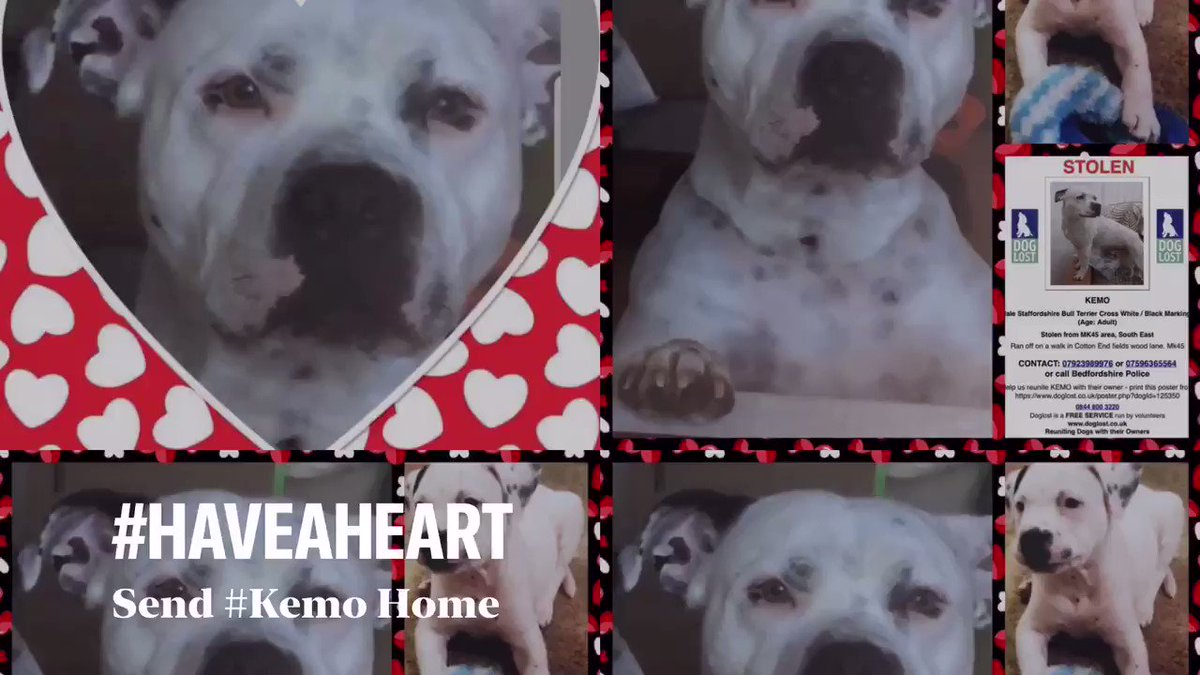 Kemo a much loved Cancer Support Dog who disappeared in February 2018 fr Cotton End #Bedford, MK45 ~ Hes a Male Adult #StaffordshireBullTerrier Cross, White with unique Black Markings Kemos DogLost Page doglost.co.uk/pet/125350 #FindOurKemo..07923 989976 #Video @KarenFi51820768