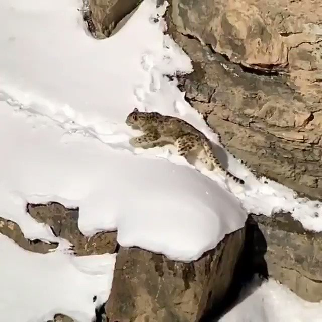 Amazing #footage of a #wild #SnowLeopard in the #Indian #Himalayan #mountains. The #snow #leopard has a thick coat of #fur which coloured is a smoky grey, which gives great #camouflage amoungst the mountainous #habitat. Conservation status #vulnerable. #wildlife #wildlifephotopic.twitter.com/iiaBrMohiI