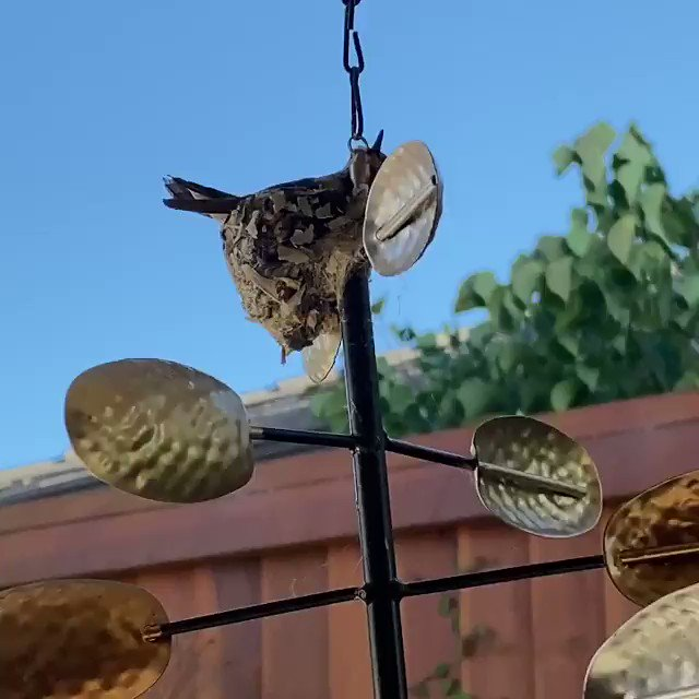 My dad discovered today that one of the hummingbirds in their backyard made a huge mistake https://t.co/LsuE2l4t83