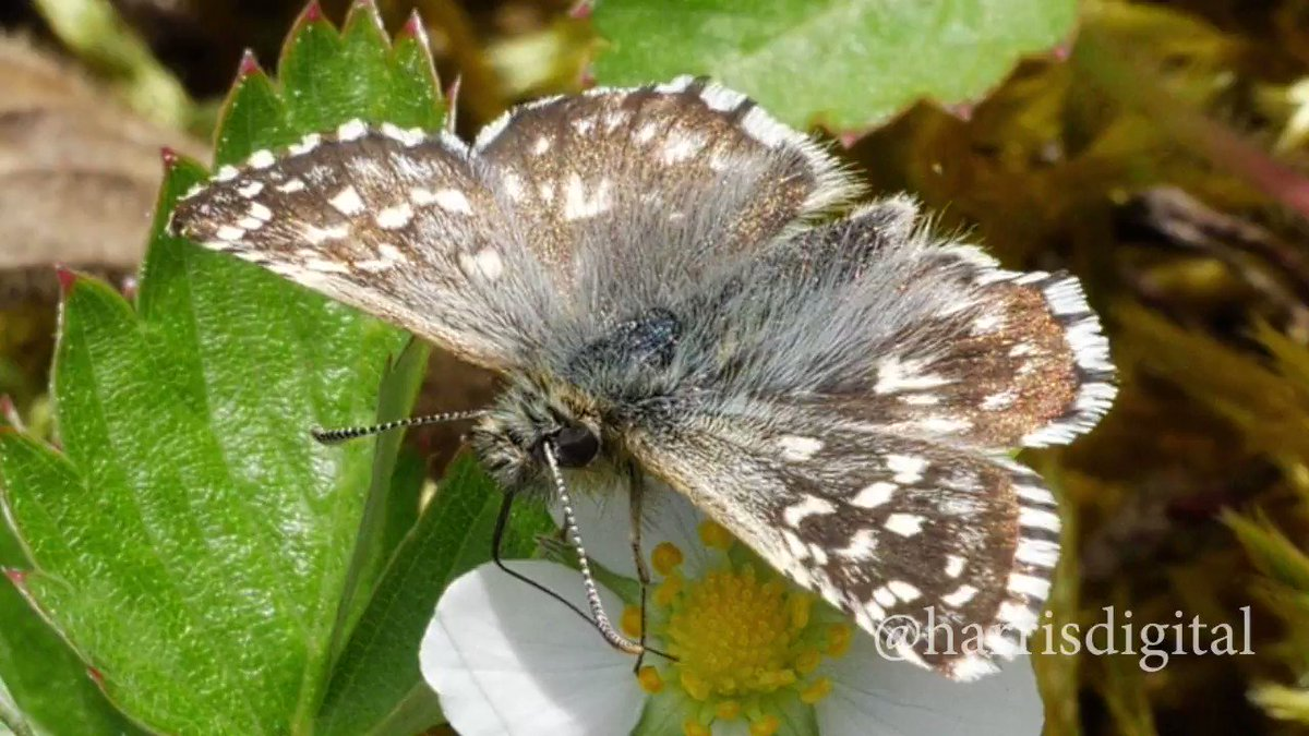 Found throughout #England and #Wales but becoming increasingly #rare. A Grizzled Skipper enjoying wild strawberry this afternoon in #Hertford. #UKLepidopteraWeekendpic.twitter.com/9JeGFyBvuJ