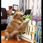 可愛すぎ!ご飯の時間だよ〜と食事を促す母犬と飛び出す子犬たち