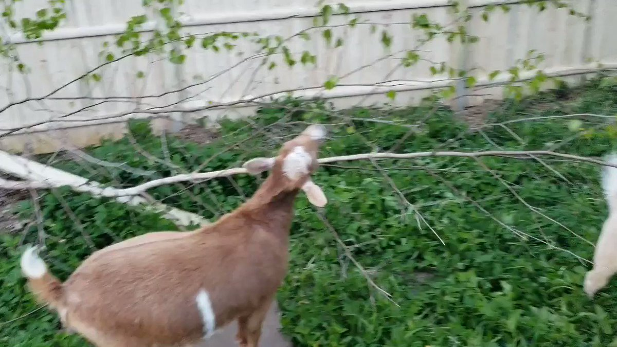So much #excitement going on today! Winston did try to use me as a ladder though And a #bird... so much noise! #goats who got to go in the other part of the yard again finally! #naturepic.twitter.com/c1z7cFgHoa