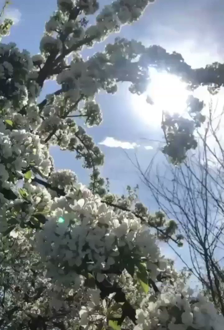 Keep Your Face To The Sun And You Will Never See The Shadows  #GoodMorning LovelyFriends Have A Great #MondayMorning & Happy #NewWeek Full Of ℒℴѵℯ Peace & #Happiness Take Care #StaySafe  ℒℴѵℯ You All  #Cherryblossoms #Sakura #Birds  #Sunshine #CherryBlossomTree #Flowerspic.twitter.com/RPDR5kpeJ9