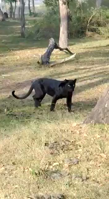 #Bagheera from Mowgli roaming in #Indian #forest. Look at the #beauty. @iOldMonkpic.twitter.com/LjyG8xpduc