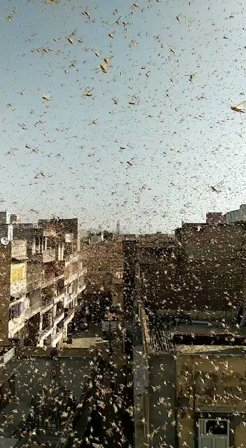 Swarms of #Locusts in #Jaipur ......the commentary is surely 'entertaining' and even goes to mention #Pakistan ka टिड्डी दल (locusts swarms)  #LocustAttack #lockdownindiapic.twitter.com/PwzLSMBhlH