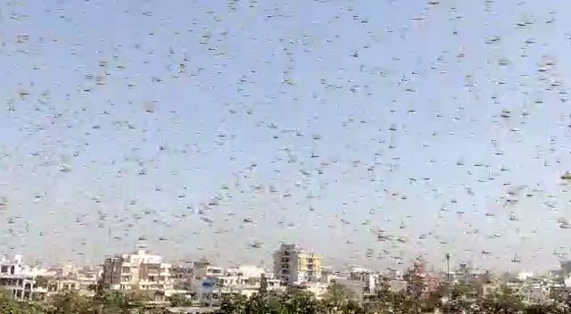 The weird times we live. Locust attack in Jaipur🤔 This year they may cause devastation as they eat away whatever is green. They are voracious feeders.