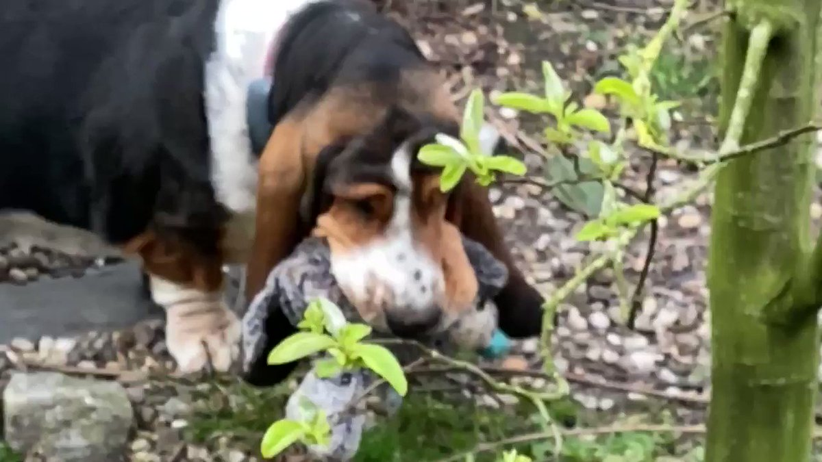 #Bassethound #dogsoftwitter I got my teddy out of its hiding place in the garden and now I only have to go back to the house with him(as inconspicuous as possible) pic.twitter.com/438ssbvgtD