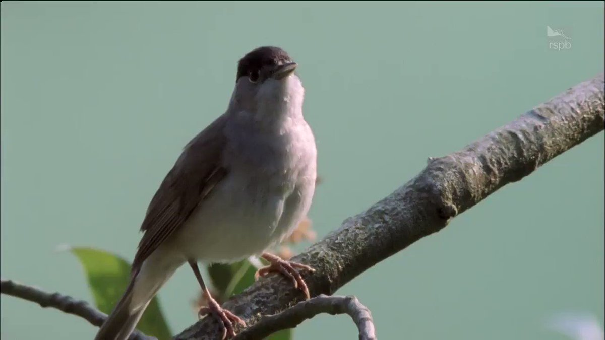 Our #MondayMotivation today comes in the form of this beautiful blackcap  pic.twitter.com/dqDWEvRn0y
