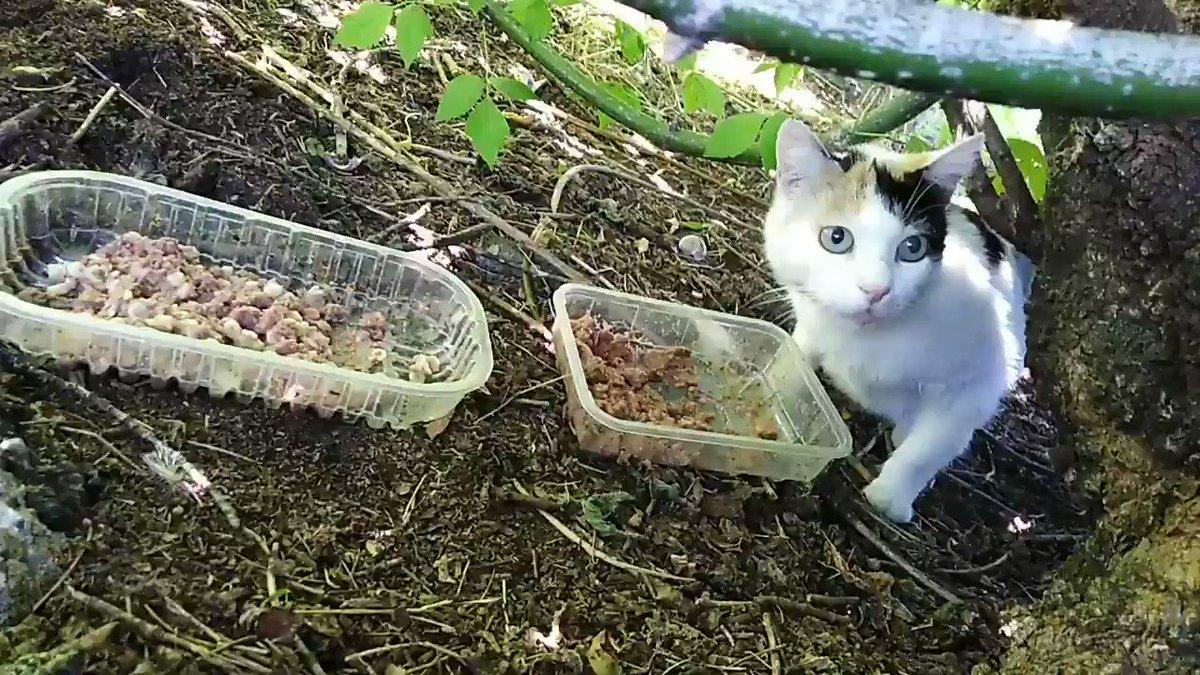 🌳🌱🌴🌳🌱🌴🌱🌴🌳🌴🌳🌱 Ecco le mie RaGatte Povere, Mami e Tatina, nella loro giungla!🌴🌳🌱 Tatina oggi è stata in disparte perché è finito il Felix e lei fa lo sciopero della fame!😾🙀 Ma che #vitadagatti 😾 #25maggio #Caturday #cats #MondayMotivation https://t.co/2O4F5HD5hP