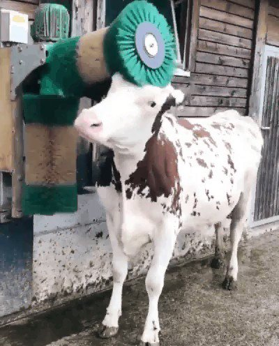 Itchy #Cow :) #ifb
