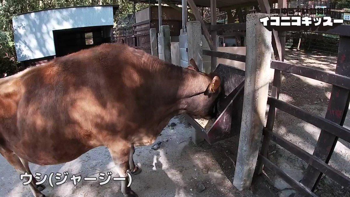 """超絶ゆるーい動物園 「イコニコキッズー」presented by池田動物園 本日は""""ウシ"""" ご自宅でお楽しみいただけるよう超絶ゆるーい動画を定期配信いたします。 #池田動物園 #イコニコキッズー #icotnicot #動物園 #ウシ #zoo_at_home #cow #zoo"""