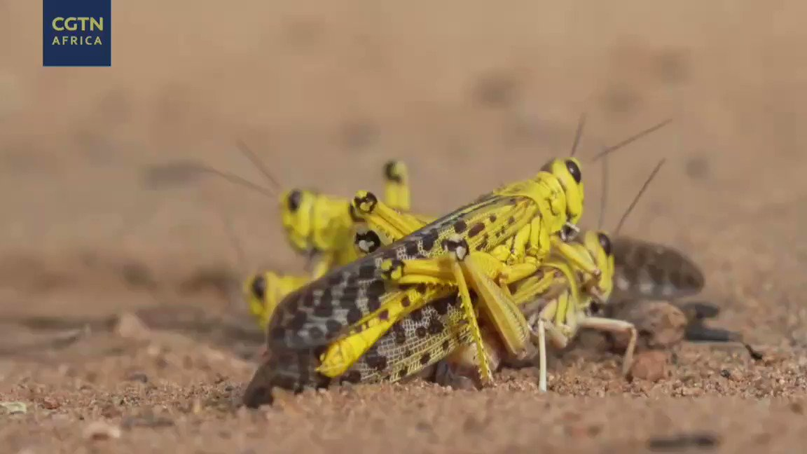 Watch this video for better understanding why these little creatures are a possible threat to us. Earlier only three hot spots were identified by FAO - Horn of Africa, Red Sea and South West Asia. Now after Pakisthan, Indian states have also reported #DesertLocust swarms.