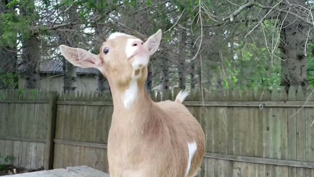 Mom said I was handsome... duh. Then she asked if I wanted a cookie... I couldn't fathom why she'd ask such a silly question! #goats can be... #animatronic #animals #TuesdayThoughtspic.twitter.com/G7swTm6TvT