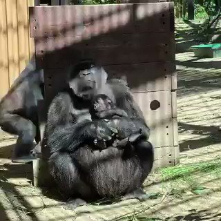 Our relatives. And their prank.... Watch till the end. The Gorilla tapping her is a juvenile. Isn't it like us only😊