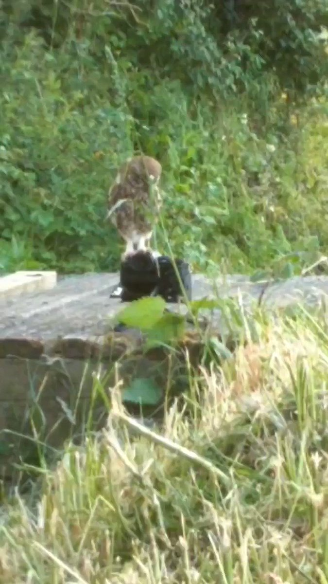 I turn my back for 5 minutes and look who came to check out my camera I was about to set up for some wide angle #wildlife #photography  this is a quick phone video grab.. These owls are just full of character. New video on these gorgeous birds coming very soon.. pic.twitter.com/1I6EJrla0N