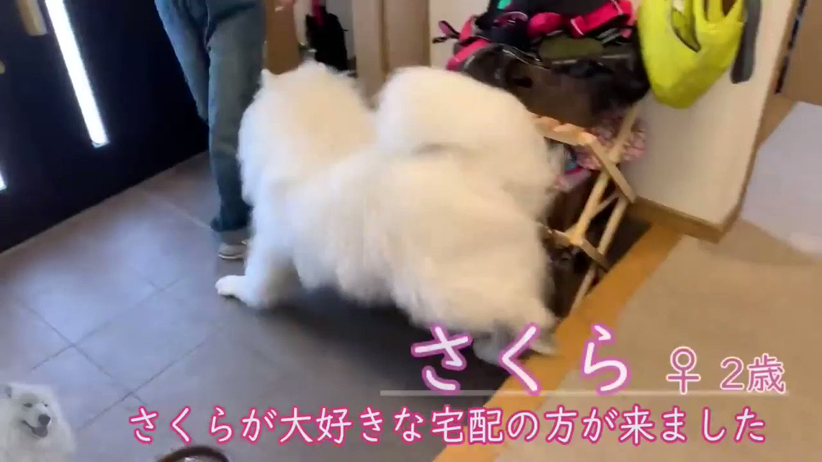 犬「待ってたワン!」→「帰っちゃったの……(しょぼん)」 配達員大好きなサモエドのビフォーアフターがかわいい  @itm_nlabzoo