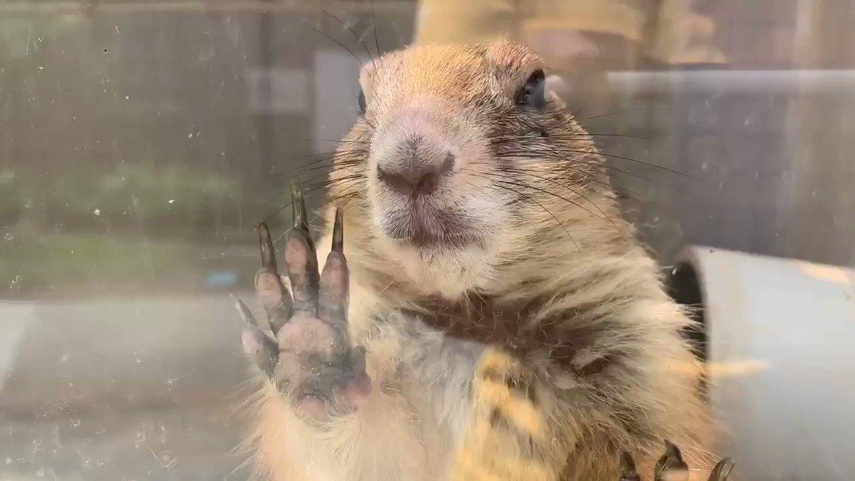 何か言ってる……???#須坂市動物園#オグロプレーリードッグ