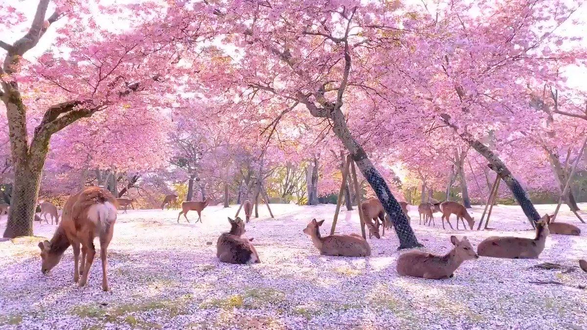 Location says Nara Park in Japan but I'm pretty sure this is actually heaven. 🌸🦌  https://t.co/cEytIzuo1u via r/aww https://t.co/uBaJIifLke