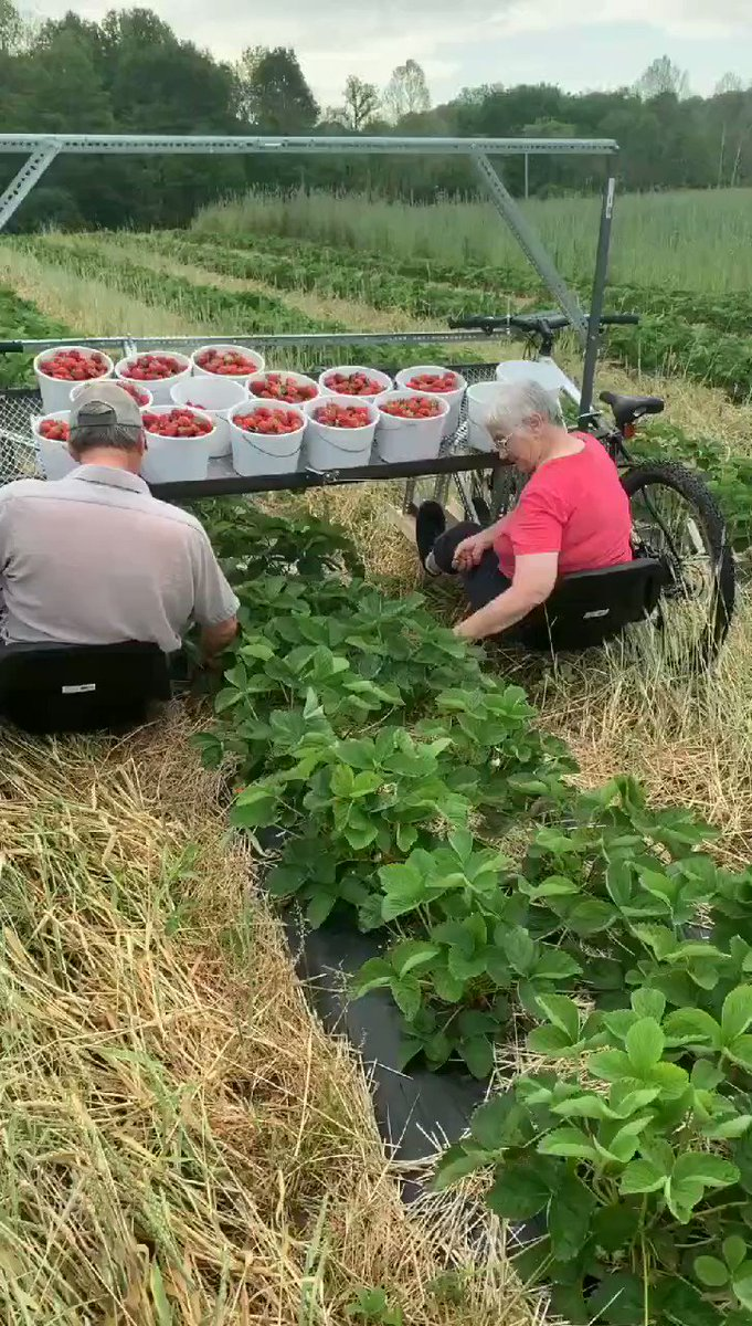 Strawberry Picking Harvest Cart.. (User/RogerG/imgur.co)
