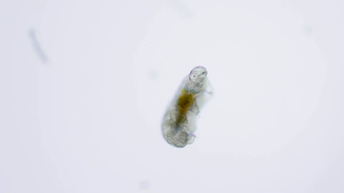 .@arielwaldman spent 5 weeks exploring Antarcticas microscopic world, filming life under ice like this tardigrade found embedded inside a glacier. (hey little dude! 👋) Shell recount her journey at 5/28s Virtual NightLife: bit.ly/3c587nX