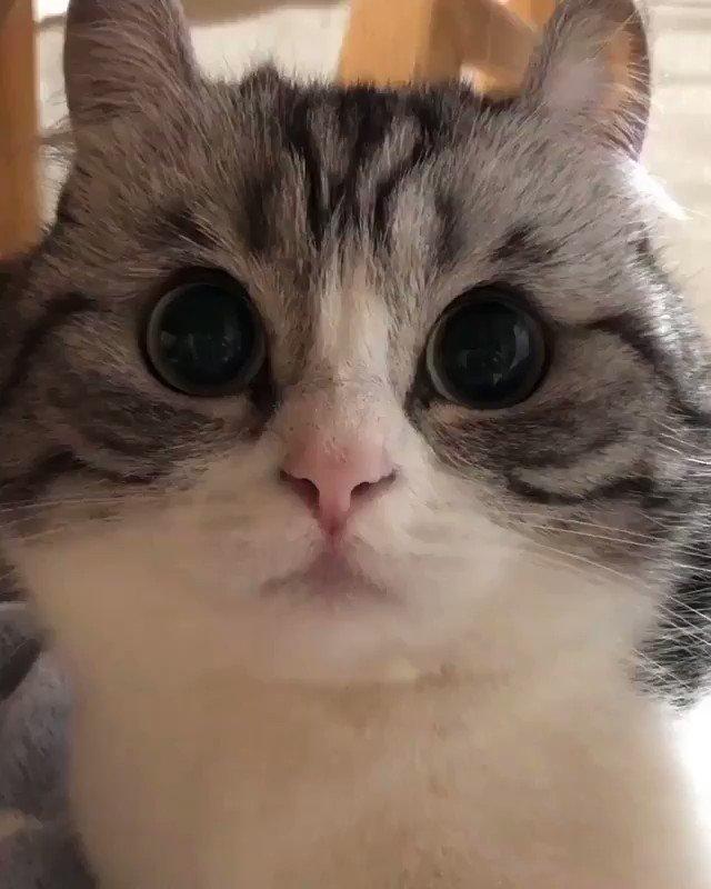 "From @mugimeshi323: ""こまるムーン🌝 Eyes like a full moon 🌝"" #catsofinstagram"