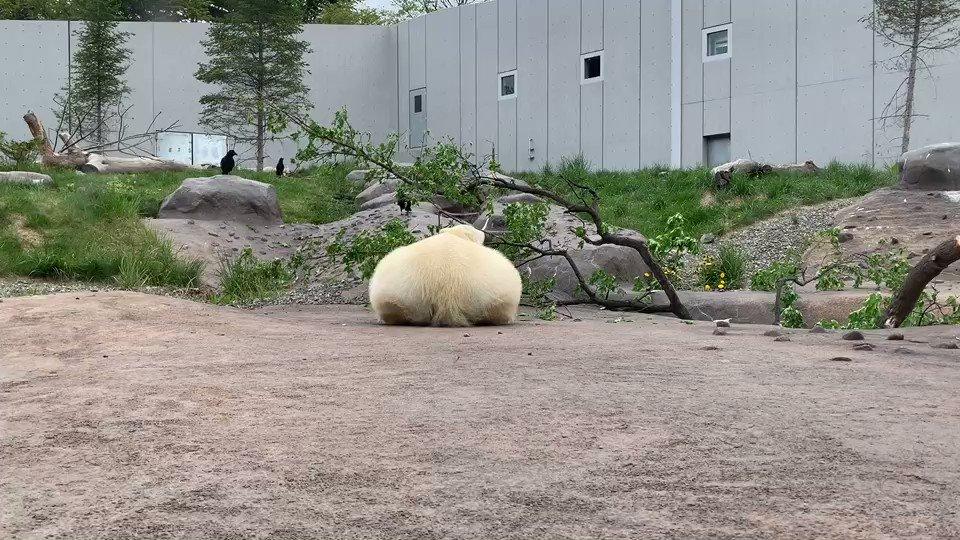 今日の円山動物園【5月28日番外編】もちシリーズpart1#円山動物園 #maruyamazoo #休園中の動物園水族館 #ホッキョクグマ