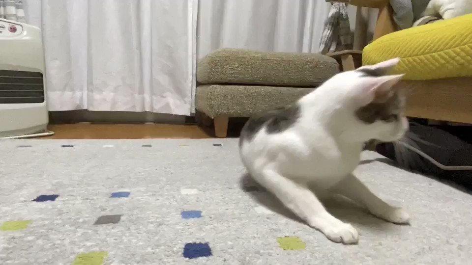 ギャグ漫画かよ!(笑)#猫のいる暮らし #猫 #cats #猫動画