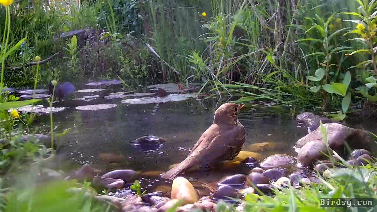 A Song Thrush and Blue Tit having a bath together in my garden #wildlifepond. Sound on for splashing and twittering noises! 🎶🎵 #BreakfastBirdwatch #pondcam @BirdsyTv