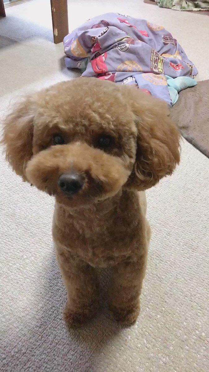 トリミングしてもらってきまちた きなこもちみたいってママに言われまちた 食べられないか心配でしゅ  #トイプードル #トリミング #犬好きさんと繋がりたいpic.twitter.com/9k3gHibpN3
