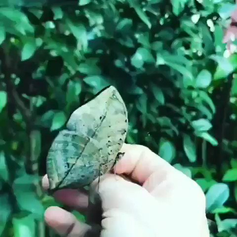 Don't chase the butterfly  Mend your garden and let the  butterfly come...       Gorgeous LEAF BUTTERFLY be  like Wow!!  #ThursdayThoughts pic.twitter.com/xzxnJKZ8AE