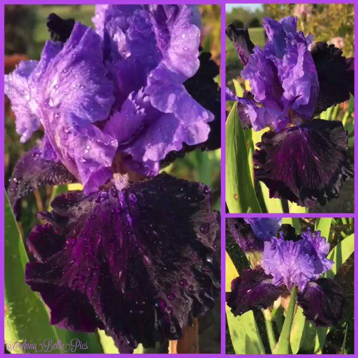'Twist of Fate' tall bearded iris soaking up some sunshine & getting a light sprinkle  Dark velvet purple falls (looks black in the shade) & lavender-blue standards make a wonderful contrast  #garden #flower #ThursdayMotivationpic.twitter.com/6GKedtKUUj