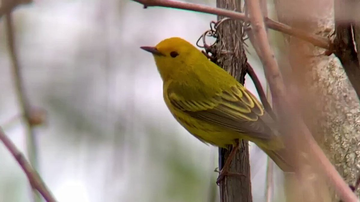Yellow Warbler doing some hunting down by the water