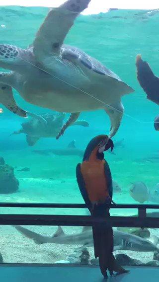Image for the Tweet beginning: 横浜・八景島シーパラダイスは6月1日(月)から営業を再開いたしますが、再開まで引き続き「Twitterで楽しむ水族館」をお届けしていきます🍀  営業再開に向けて、ルリコンゴウインコのコハクも館内の様子を要チェック😂✨  #シーパラ #八景島 #Twitterで楽しむ水族館 #ルリコンゴウインコ #アオウミガメ