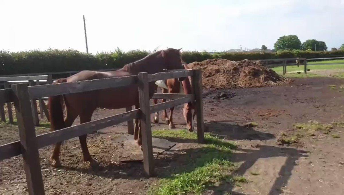 Image for the Tweet beginning: 色男ジョージ32歳、モテ男伝説✨ マロンはセン馬なのに、兄貴に釘付け😁 そう言えば来たばかりの頃、オーナーさんが「乗馬クラブに居た頃は放牧に出すと隣の馬を威嚇してケンカを売る馬だった」とおっしゃっていた(笑) 今の様子からは信じられないね😂 #馬 #放牧 #養老馬 #余生 #羽生市