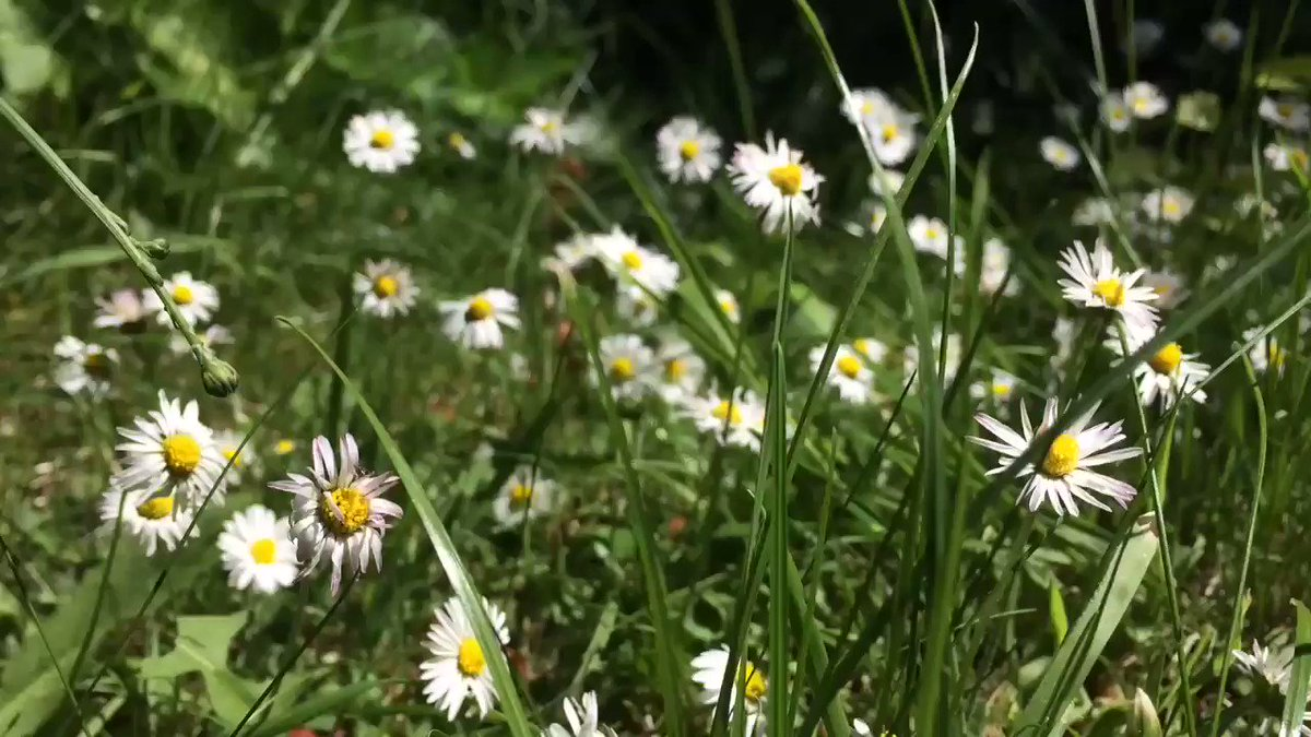 The lawn is alive with wildflowers and insects, who would want to mow the grass in spring?? #NoMowMay